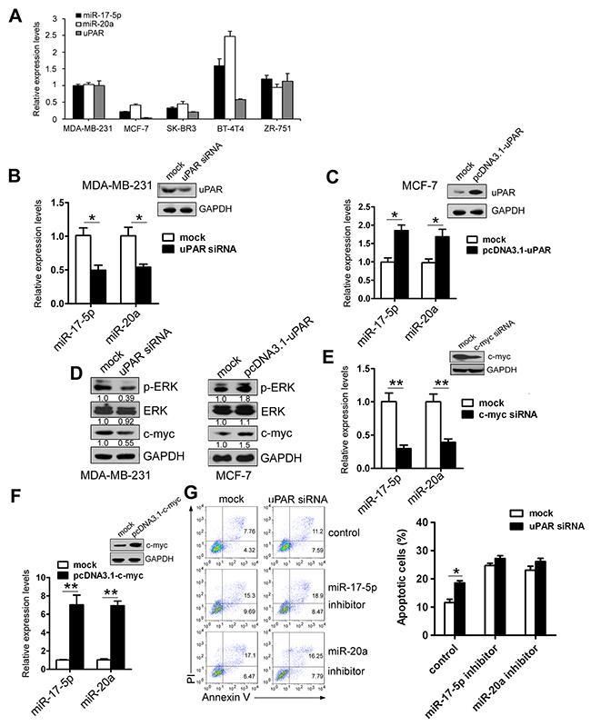 uPAR upregulates miR-17-5p/20a expression via c-myc.