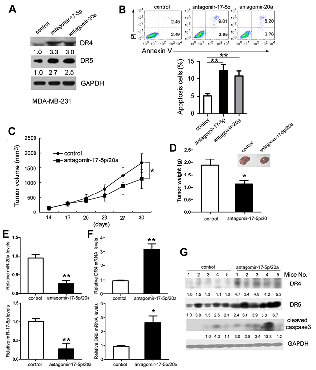 Inhibition of miR-17-5p and miR-20a expression suppresses tumor growth in nude mice.