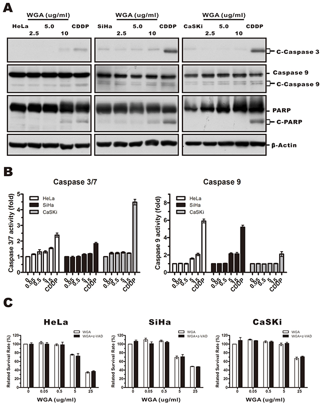 WGA-induced cytoplasmic vacuolation and cell death was not associated with caspase-dependent apoptosis.