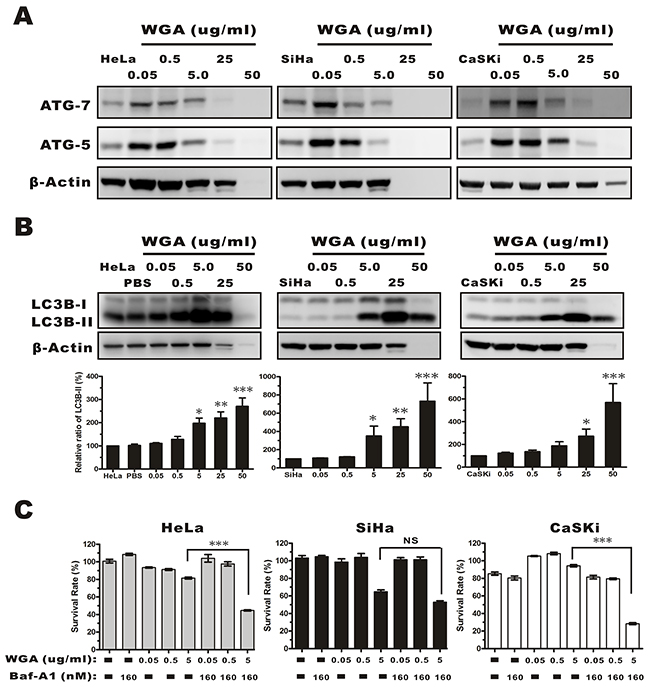 Evaluation of autophagy by monitoring ATG-5, -7, and the conversion LC3B-I to LC3B-II in whole protein extracts from HeLa, SiHa, and CaSKi cells treated with WGA at the indicated concentrations.