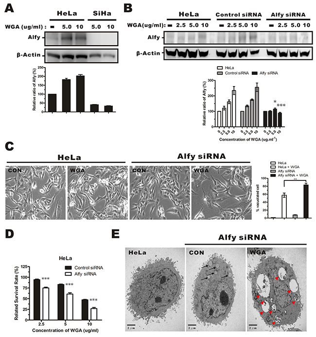 Effects of Alfy knockdown on WGA-induced cytoplasmic vacuolation and cell death.