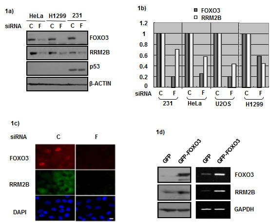FOXO3 and RRM2B expression correlate in cancer cells.