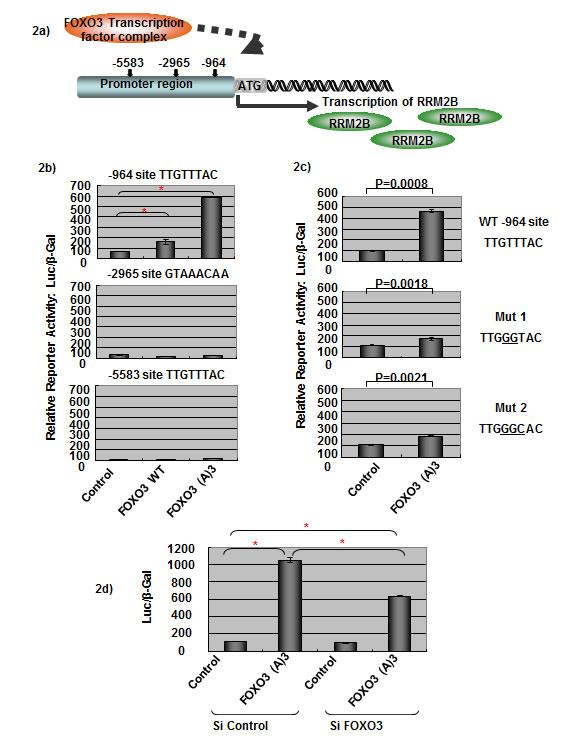 FOXO3 activates RRM2B transcriptional activity.