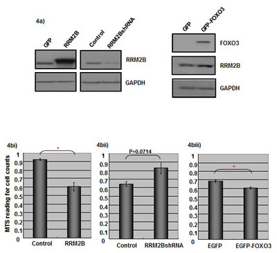 Expression of RRM2B and FOXO3 impacts on cancer cells proliferation.