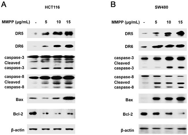 Effect of MMPP on apoptosis regulatory proteins in colon cancer cells.