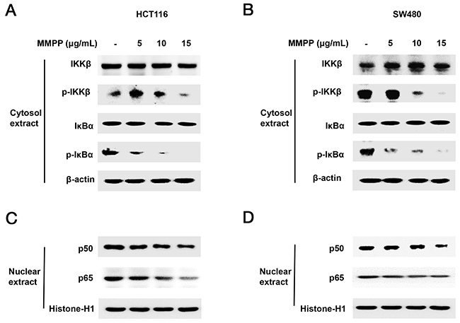 Effect of MMPP on IKKβ-dependent NF-κB activation.