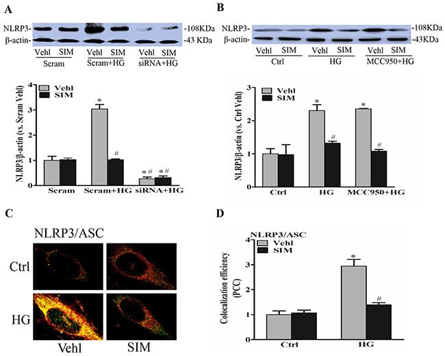 Simvastatin inhibited high glucose-induced NLRP3 expression and oligomerization.