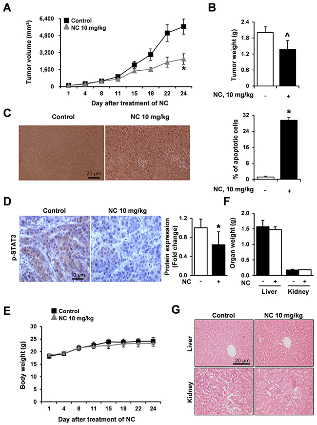 NC suppresses tumor growth and induces apoptosis in a nude mouse xenograft model bearing HSC3 cells.