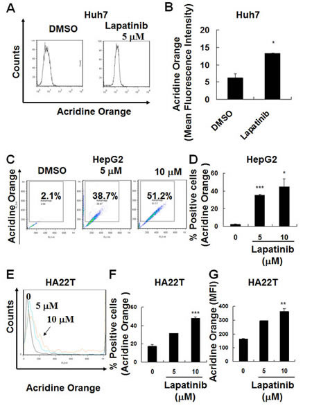 Induction of autophagy in lapatinib-treated HCC cells.
