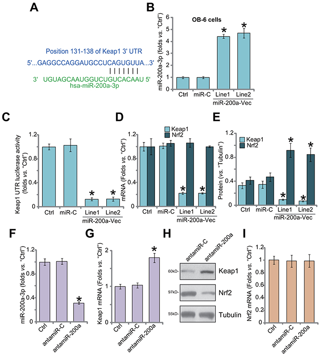 miR-200a expression depletes Keap1 to cause Nrf2 accumulation in human osteoblastic cells.