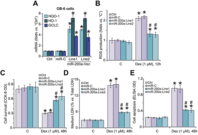 miR-200a expression activates Nrf2 signaling and protects human osteoblastic cells from Dex.
