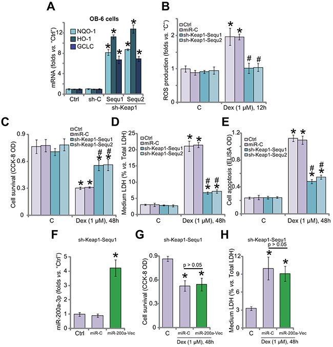 Keap1 shRNA activates Nrf2 and protects human osteoblastic cells from Dex.
