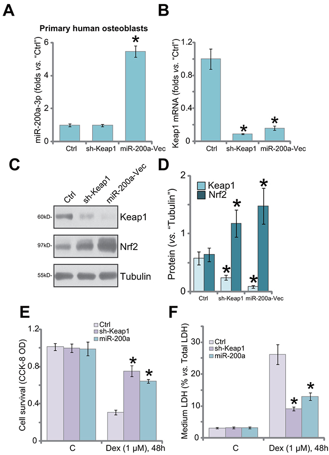 Keap1 silence by shRNA or miR-200a protects primary human osteoblasts from Dex.
