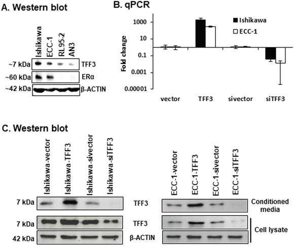 Generation of EC cells with stable forced or depleted expression of TFF3.