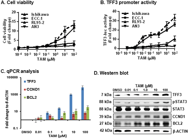 TAM exposure of ER+ EC cells stimulates cell viability, increased promoter activity of TFF3, expression of TFF3/CCND1/BCL2 and STAT3 activity.