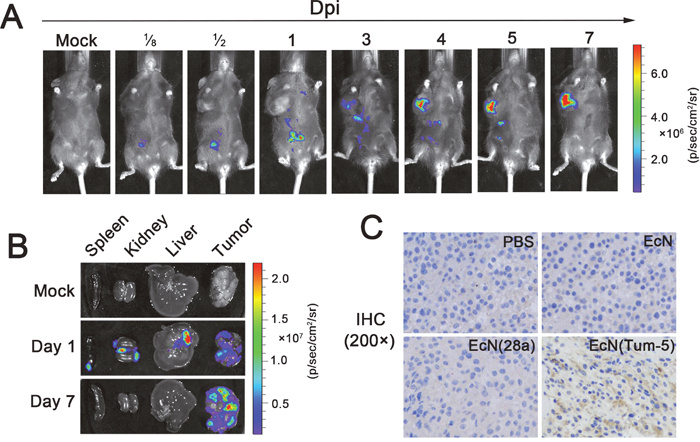 Colonization profile of EcN in the murine B16 tumor model and characterization of Tum-5 expression in vivo.