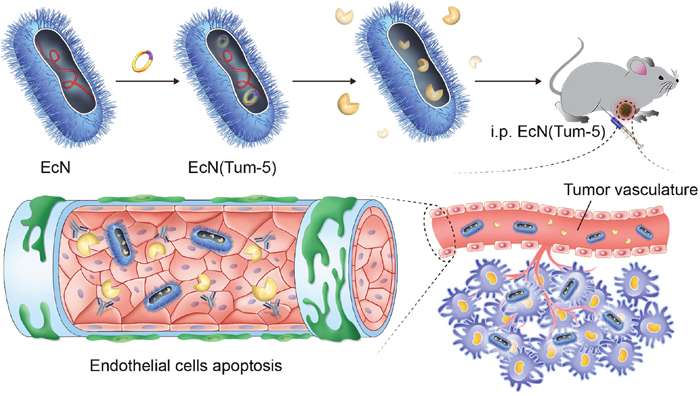 EcN (Tum-5) probiotics for cancer therapy.