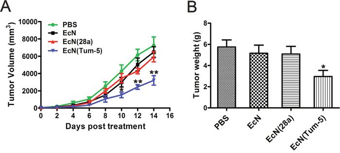 Inhibitory effect of EcN (Tum-5) on B16F10 melanoma tumor growth.