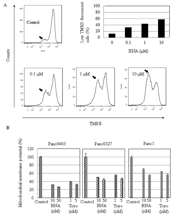 Mitochondrial membrane depolarization induced by HNA.