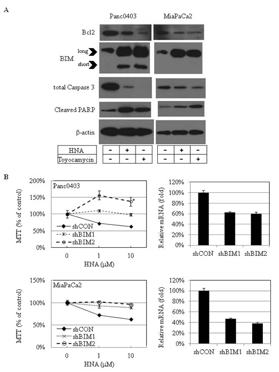 IRE1α inhibitor treatment: Apoptosis-related proteins in pancreatic cancer cells.