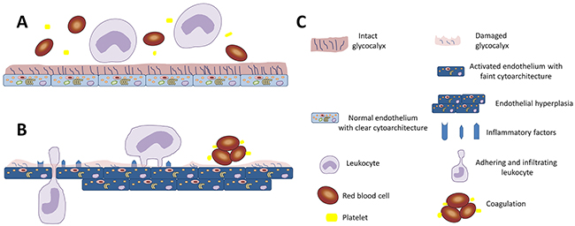 Diagrammatic representation of the importance of glycocalyx in endothelial function.