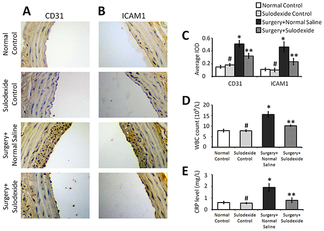 Sulodexide attenuates the balloon surgery-induced expression of the inflammatory factors CD31 and ICAM1, and provides a systemic anti-inflammatory effect.