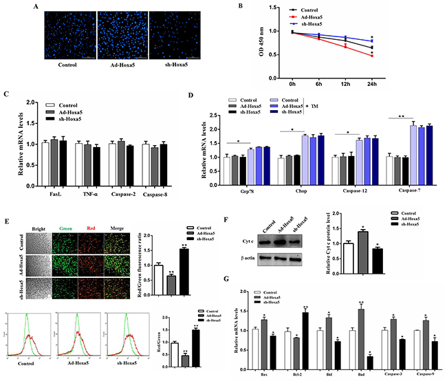 Hoxa5 promoted apoptosis through mitochondrial pathway in white adipocytes.