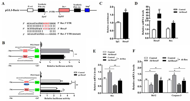 Hoxa5 promoted apoptosis by elevating Bax transcription in white adipocytes.