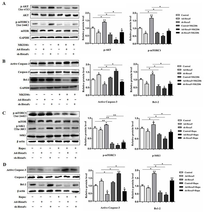 Hoxa5 increased white adipocyte apoptosis via the Akt/mTORC1 pathway.