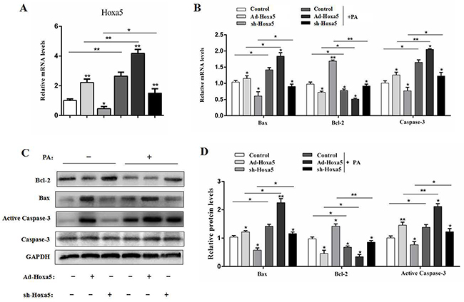 Hoxa5 promoted PA-induced apoptosis in white adipose tissue of mice.