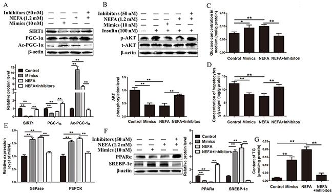 MiR-181a overexpression impairs and miR-181a inhibition improves glucose and lipid homeostasis in HepG2 cells.