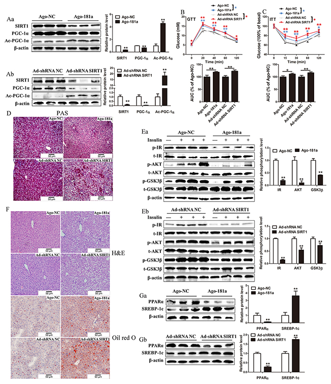 MiR-181a overexpression or SIRT1 knockdown impairs glucose and lipid metabolism in vivo.