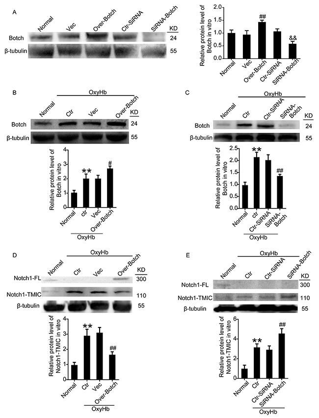 Effects of overexpression and knockdown of Botch on the protein levels of Botch and the maturation of Notch1 in cultured neurons.