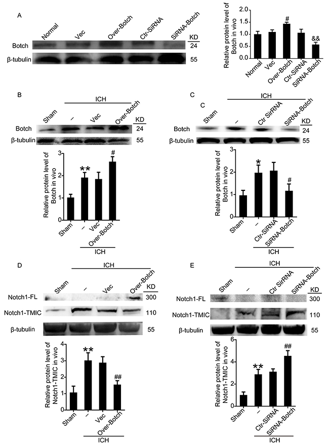 Effects of overexpression and knockdown of Botch on the protein levels of Botch and the maturation of Notch1 in brain tissue around hematoma.