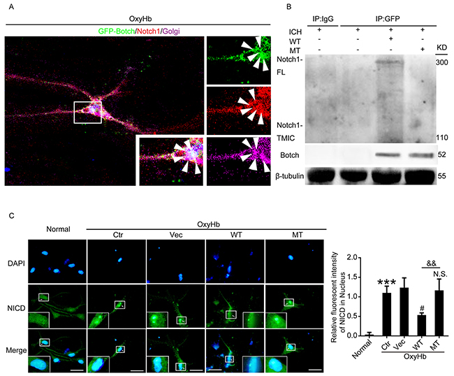 Botch antagonized the cleavage and maturation of Notch1 in Glu115 dependent manner.