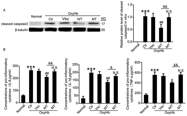 Effects of wide type Botch and mutant Botch overexpression on the cell apoptosis and inflammation in cultured neurons.