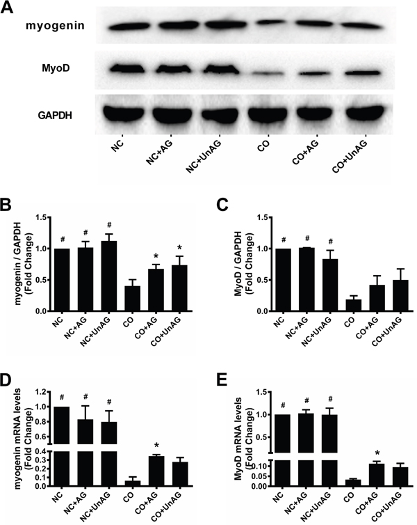 AG/UnAG improves pro-myogenesis transcription factors in co-cultured myotubes.