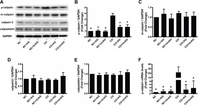 AG/UnAG attenuates calpain system activity in co-cultured myotubes.