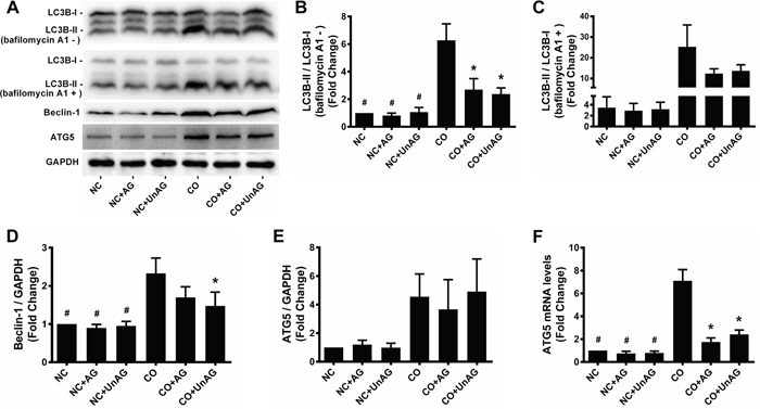 AG/UnAG attenuates autophagy activity in co-cultured myotubes.