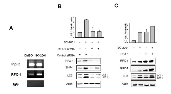 RFX-1 expression is related to LC3II protein level.