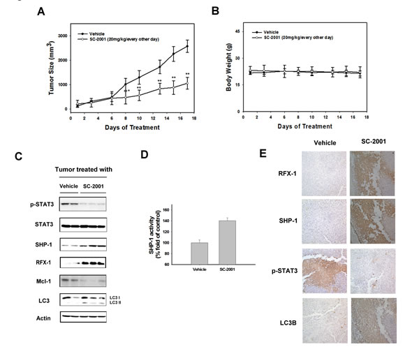 SC-2001 inhibits tumor growth via RFX-1/SHP-1/STAT3 dependent autophagic cell death.