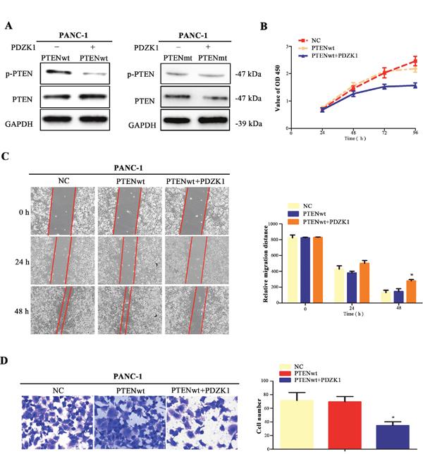 PDZK1 regulates PTEN phosphorylation via interacting with wild-type PTEN.