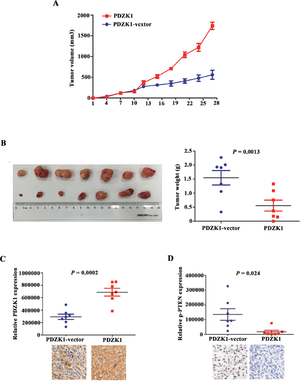 PDZK1 inhibits pancreatic cancer growth in vivo by dephosphorylating PTEN.