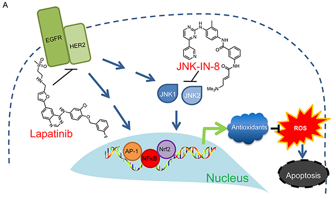Proposed Mechanism of JNK-IN-8 and Lapatinib Synergy.