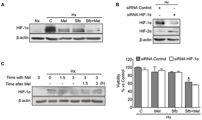 Effect of melatonin and sorafenib on HIF-1α expression and role of HIF-1α in the hypoxia-mediated resistance.
