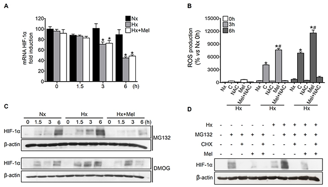 Effect of melatonin on HIF-1α transcription, protein synthesis and degradation.