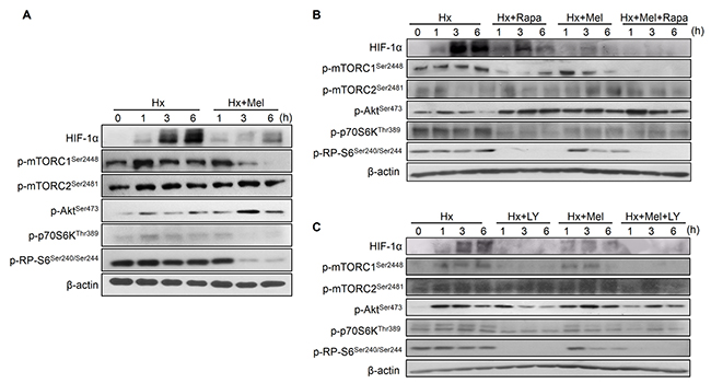 Impact of melatonin on PI3K/Akt/mTOR, HIF-1α synthesis pathway assayed by Western blot.