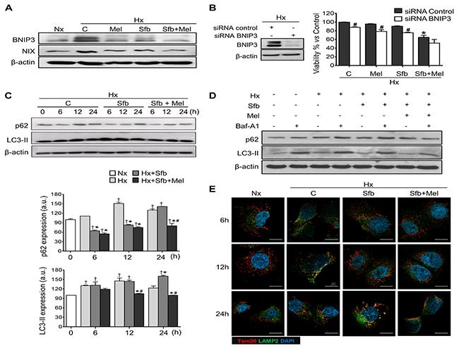 Effect of melatonin and sorafenib on hypoxia-induced mitophagy and role of mitophagy in sorafenib hypoxia-mediated resistance.
