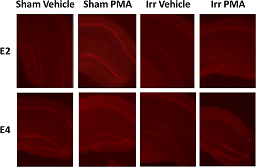 Representative images of PMA-induced DHE oxidation in hippocampal slices from sham-irradiated and irradiated E2 and E4 mice.