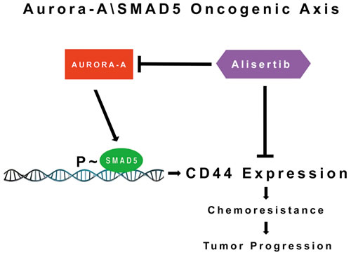 Molecular Targeting of the Aurora-A/SMAD5 Oncogenic Axis Restores Chemosensitivity: Aberrant Aurora-A kinase activity induces phosphorylation of SMAD5 transcriptional factor that in turn will promote expression of CD44 receptor and activation of stemness signaling responsible for chemoresistance and tumor progression.